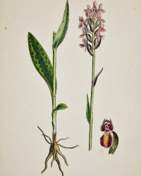 Antique Botanical Hand Colored Engraved Print Marsh Orchis