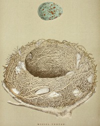 Antique Engraved Nest & Egg Missel Thrush Print