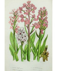 Antique Botanical Chromolithograph Print Marsh Orchid