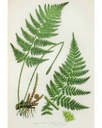 Antique Chromolithograph Botanical Print Narrow Fern