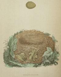 Antique Engraved Nest & Egg Nightingale Print