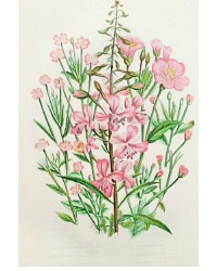Antique Botanical Chromolithograph Print Rosebay Willow
