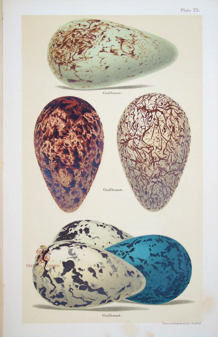 Antique Lithograph Guillemot Eggs Print