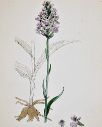 Antique Botanical Hand Colored Engraved Print Spotted Orchis