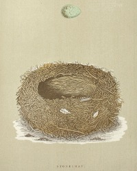 Antique Engraved Nest & Egg Stonechat Print