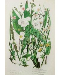 Antique Botanical Chromolithograph Print Star Fruit Flower