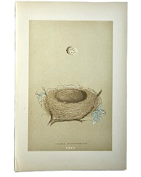 Antique Engraved Nest & Egg Whitethroat Print