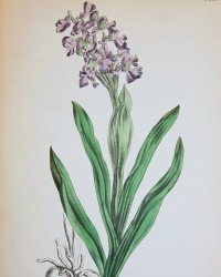 Antique Botanical Hand Colored Engraved PrintWinged Meadow Orchis
