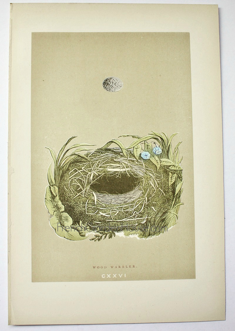 Antique Engraved Nest & Egg Wood Warbler Print