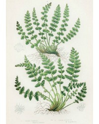 Antique Chromolithograph Botanical Print Woodsia