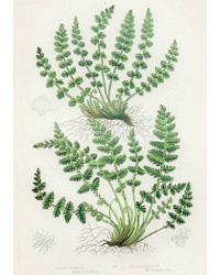 Antique Chromolithograph Botanical Print Woodsia