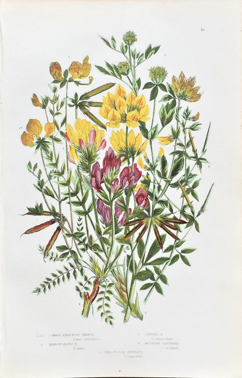 Antique Botanical Chromolithograph Print Trefoil
