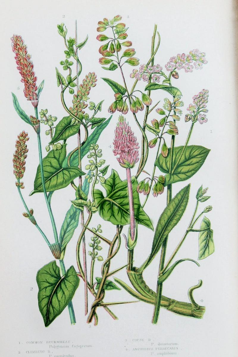 Antique Botanical Chromolithograph Buckwheat