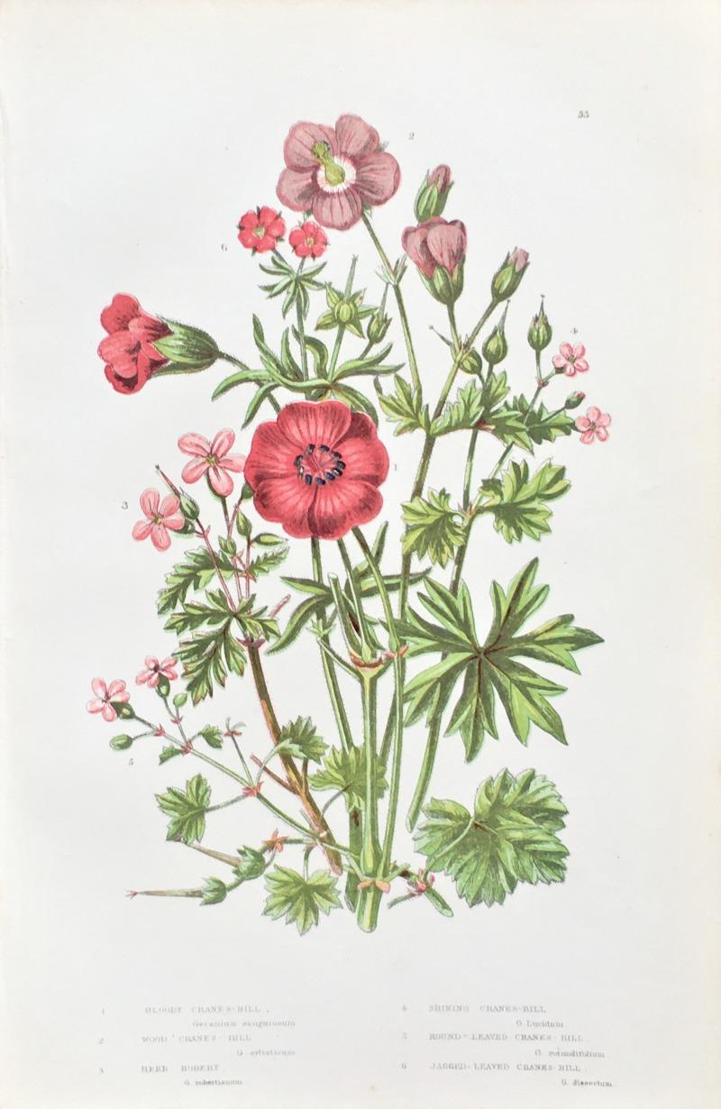 Antique Botanical Chromolithograph Print Crane's Bill