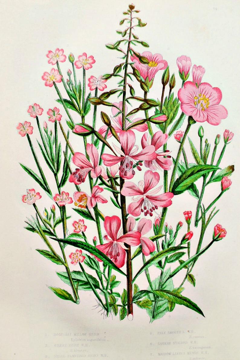 Antique Botanical Chromolithograph Willow Herb