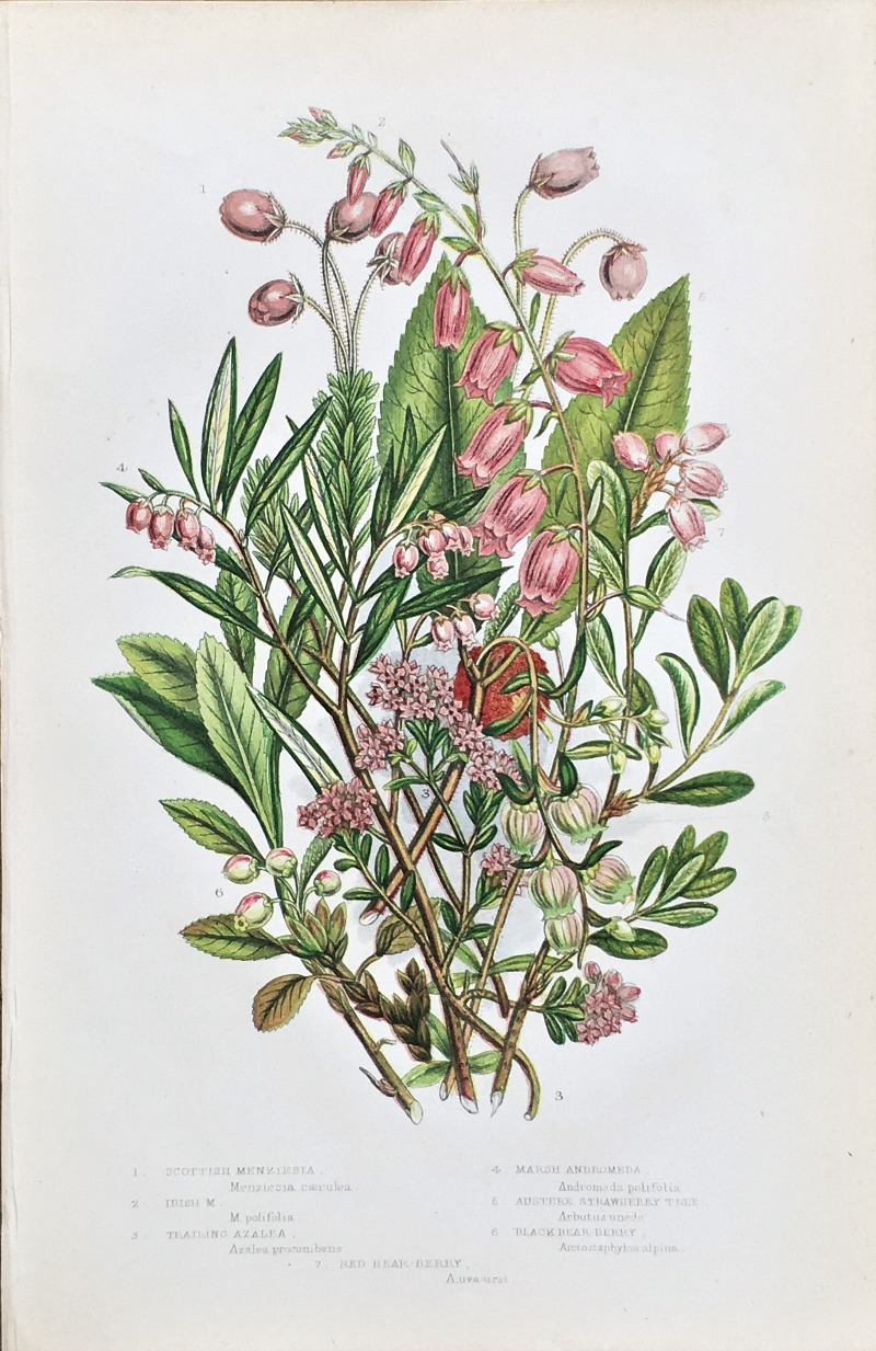 Antique Botanical Chromolithograph Trailing Azalea