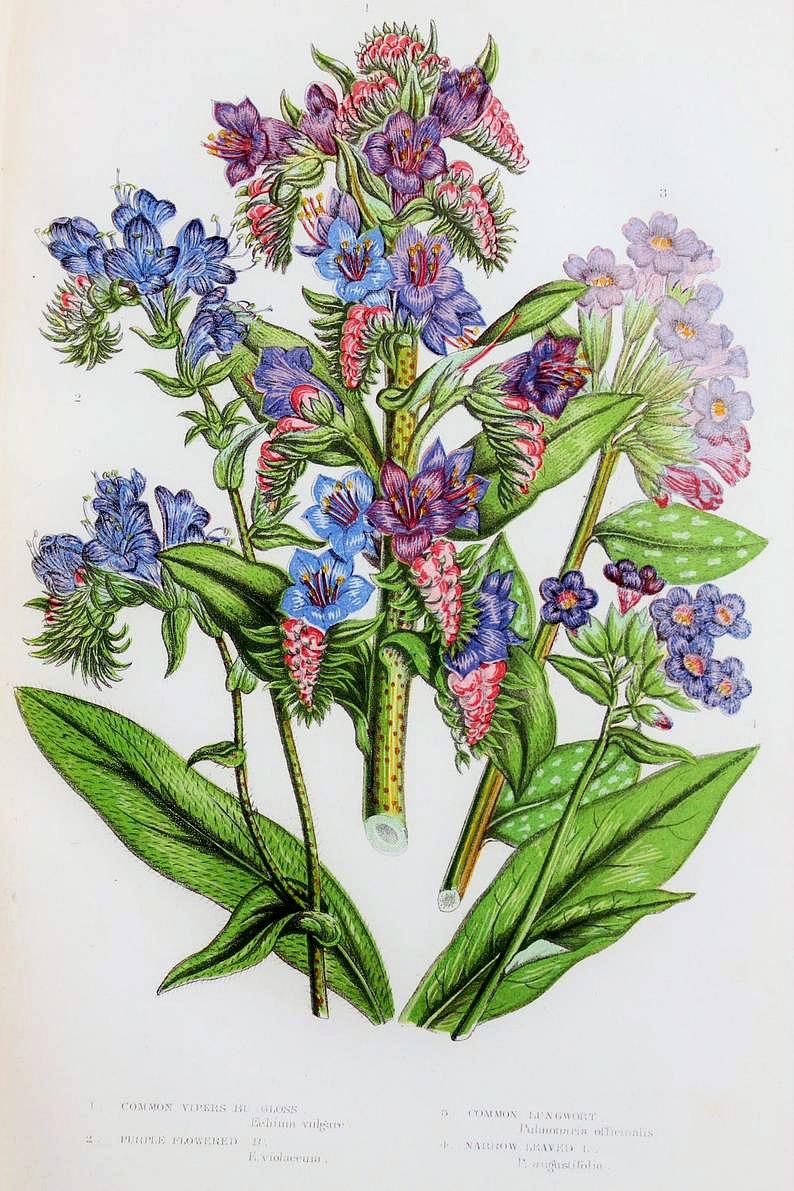 Antique Botanical Chromolithograph Print Purple Wildflowers