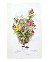 Antique Botanical Chromolithograph Print Wood Anemone