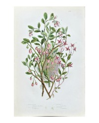 Antique Botanical Chromolithograph Pink Bilberry