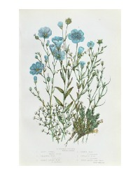 Antique Botanical Chromolithograph Print Blue Flax