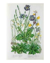 Antique Botanical Chromolithograph Vervain