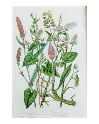 Antique Botanical Chromolithograph Buckwheat