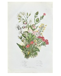 Antique Botanical Chromolithograph Print Campion