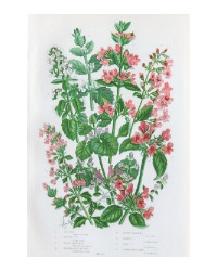 Antique Botanical Chromolithograph Basil Thyme