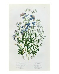 Antique Botanical Chromolithograph Print Forget-Me-Not