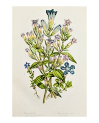 Antique Botanical Chromolithograph Gentian