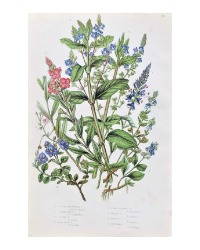 Antique Botanical Chromolithograph Print Veronica