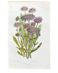 Antique Botanical Chromolithograph Scabiosa