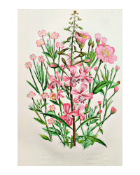 Antique Botanical Chromolithograph Willow Herb