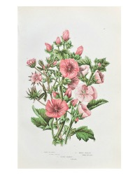 Antique Botanical Chromolithograph Print Tree Mallow