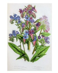 Antique Botanical Chromolithograph Print Purple Wildflowers