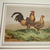 Antique Hand Colored Framed Engravings Chickens Set of 4