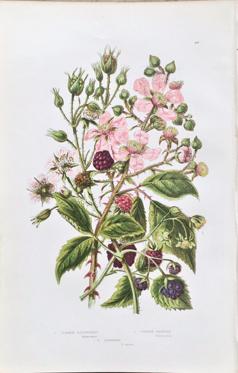 Antique Botanical Chromolithograph Print Bramble