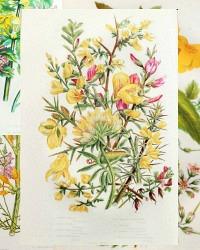 Antique Botanical Print Set of 4 Storksbill