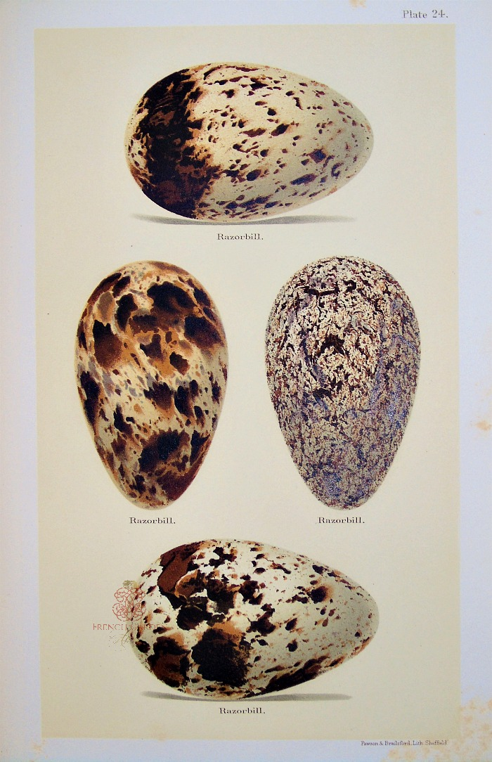 Antique Lithograph Razorbill Eggs Print