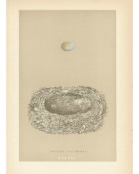Antique Engraved Nest & Egg Spotted FlycatcherPrint