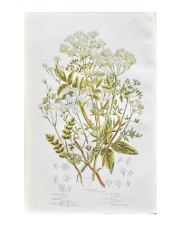 Antique Botanical Chromolithograph Parsley