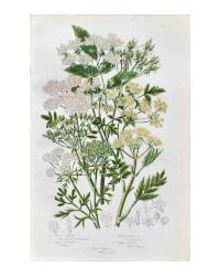 Antique Botanical Chromolithograph Sweet Cecily