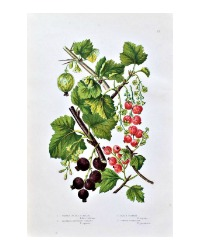 Antique Botanical Chromolithograph Print Mountain Currant