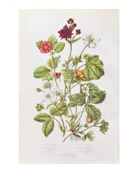 Antique Botanical Chromolithograph Print Wood Strawberry
