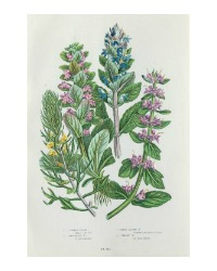 Antique Botanical Chromolithograph Print Alpine