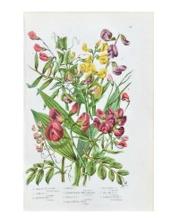 Antique Botanical Chromolithograph Everlasting