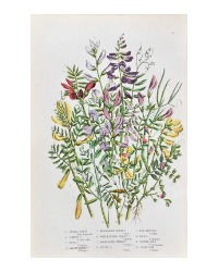 Antique Botanical Chromolithograph Lavender Vetch
