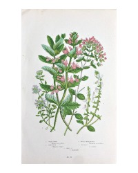 Antique Botanical Chromolithograph Wild Thyme