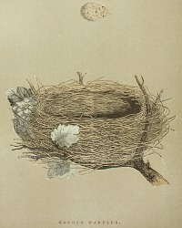 Antique Engraved Nest & Egg Garden Warbler Print