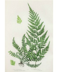 Antique Chromolithograph Botanical Print Spleenwort Fern